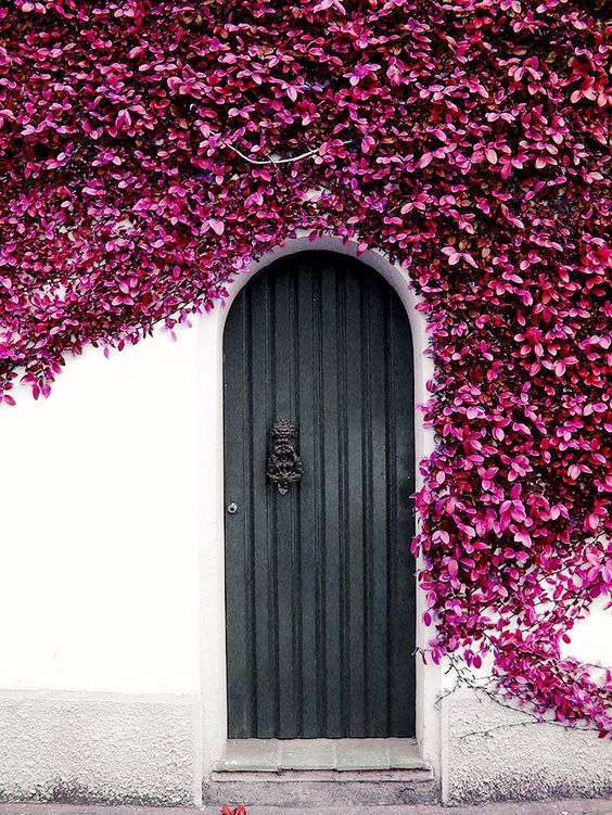 black front door surrounded by purple flowering ivy