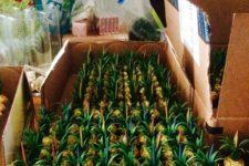 22 Ferrero Roche sweets turned into little pineapple favors