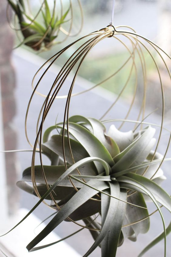 concentric brass coils to support your favorite air plant