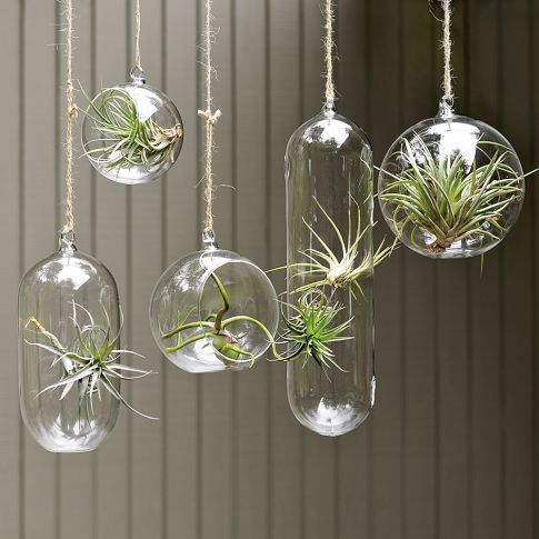 hanging glass spheres with air plants