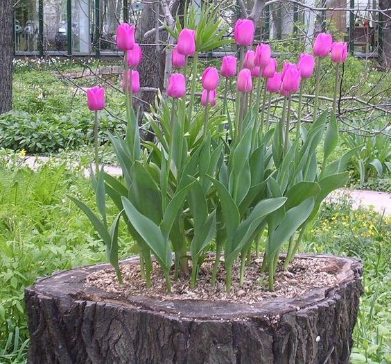 bold purple tulips growing right in a tree stump for a contrast