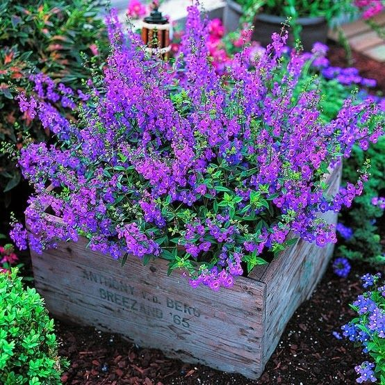 angelonia in a crate garden bed looks very Provence-like