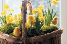 13 a wooden basket with moss, daffodils and chicks