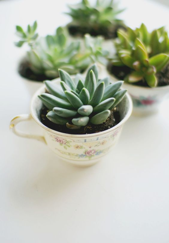 vintage tea cups with succulents