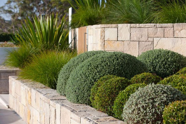 Buxus Japonica bring a punch of crisp green in this design