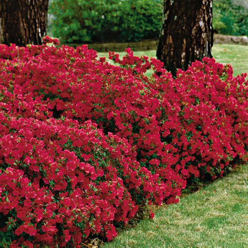 grow red azaleas to add color to your garden
