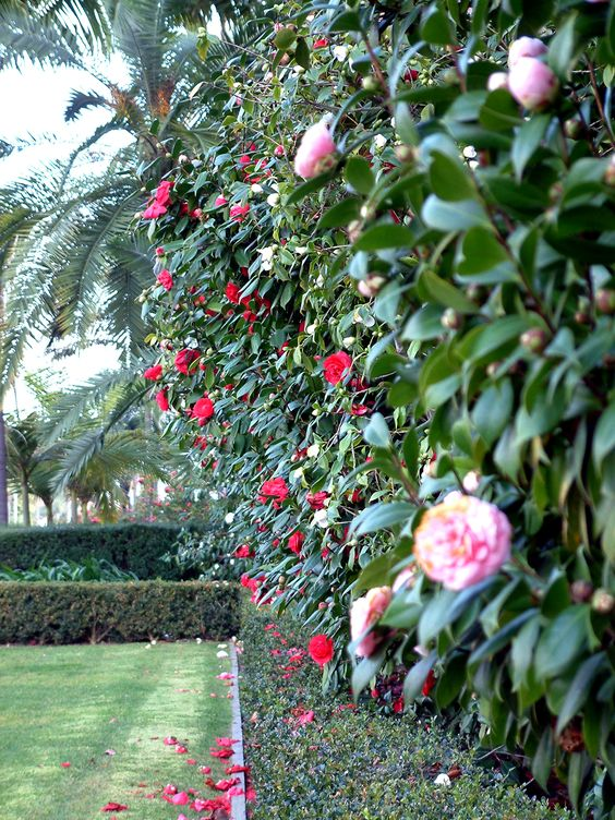 Photo credit: Joan S. Bolton Camellia japonica hedge
