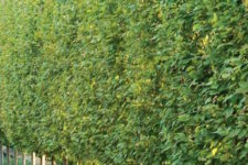 17 hornbeam trees will be an amazing and very safe living screen