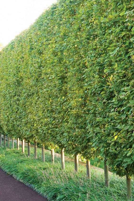 hornbeam trees will be an amazing and very safe living screen