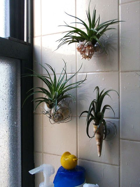 tillandsias in seashells attached in the shower are a cool idea as they need no soil, only water to live