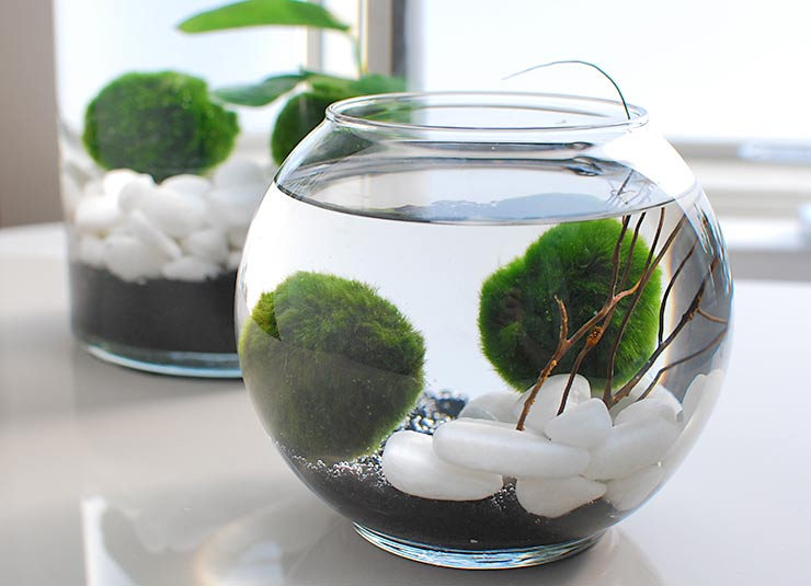 6 Diy Marimo Moss Ball Aquariums And Water Gardens Shelterness