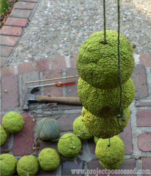 fall garland of hedge apples (via projectpossessed)