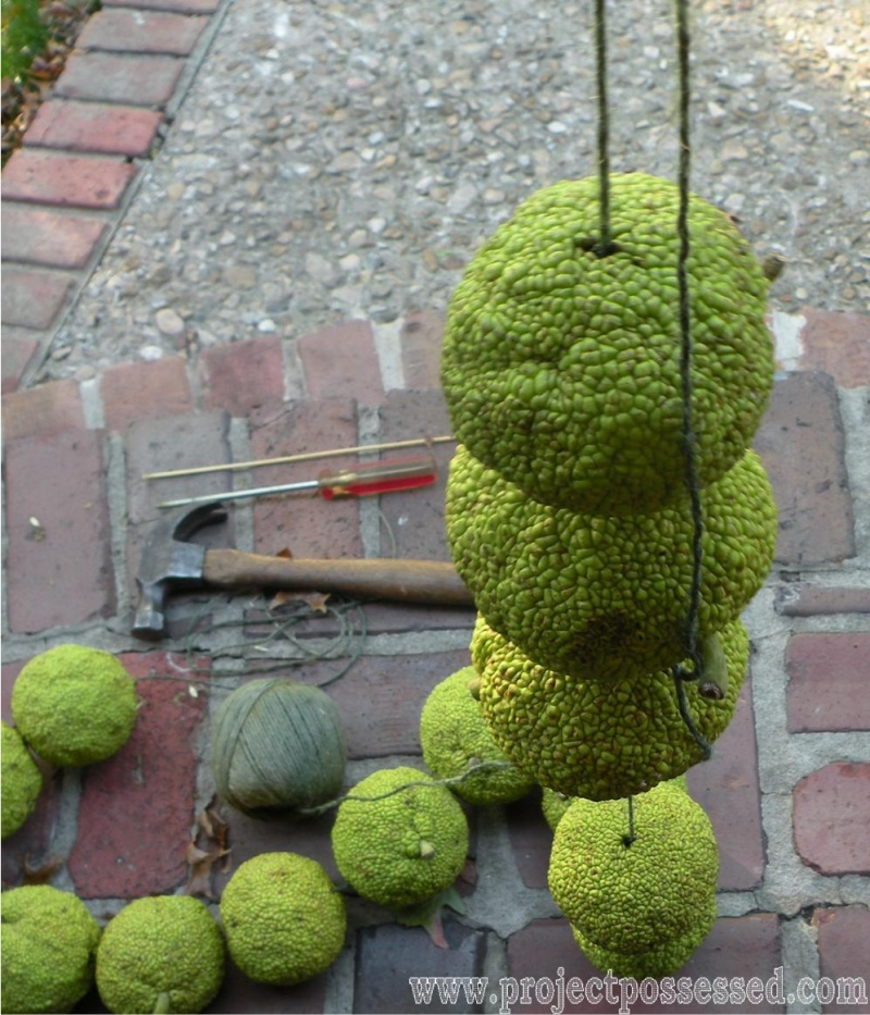 fall garland of hedge apples