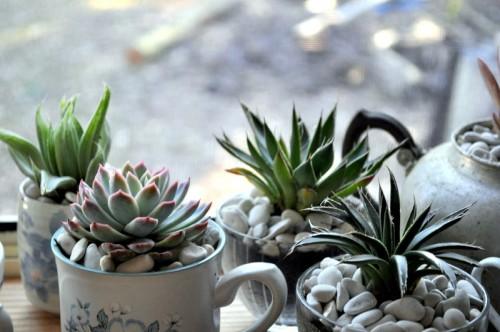 indoor teacup succulent garden