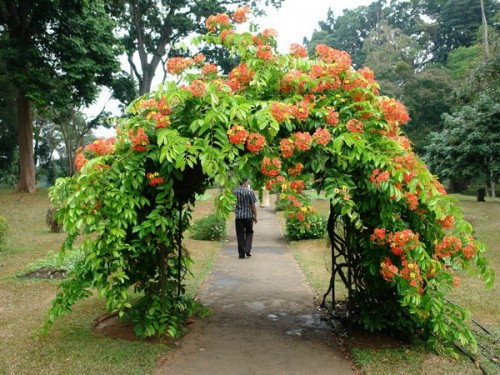 ...на ней дикий виноград, то арка требуется более массивная, а если однолетние вьющиеся растения или клематисы, то.