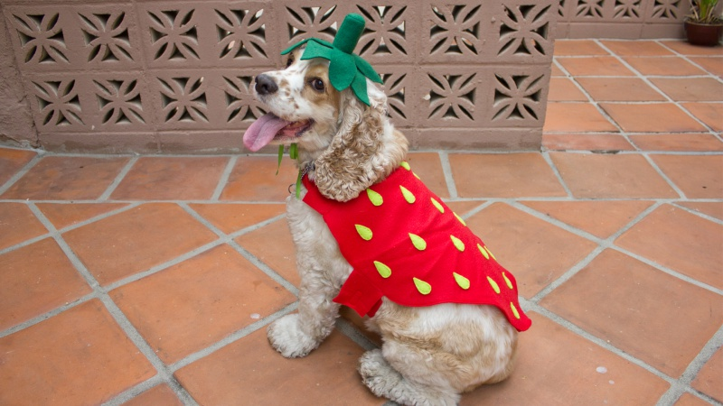 strawberry dog costume