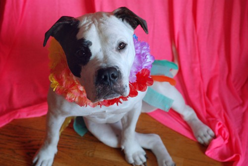 hula dog Halloween costume (via modernette)