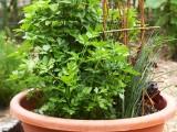 Herb Garden With A Bentwood Trellis