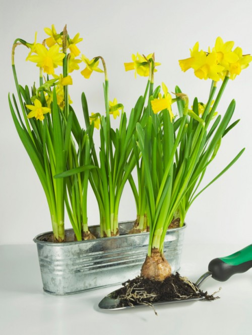 how to grow daffodils at home (via hgtvgardens)