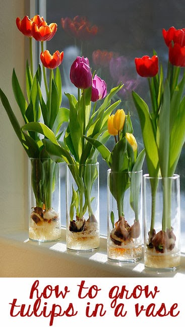 how to grow tulips indoors (via lifefad)