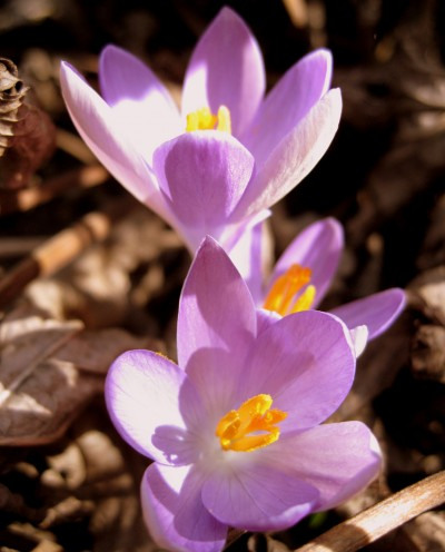 how to grow crocus at home (via gardeningknowhow)