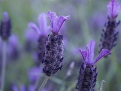 how to grow lavender inside (via guide-to-houseplants)