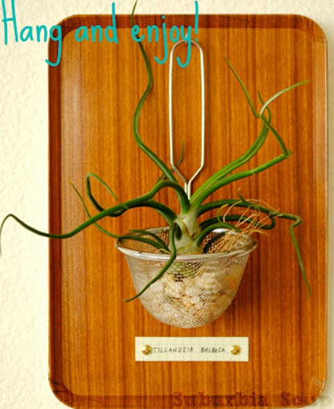 How To Make An Air Plant Display Shelterness
