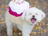 sweet-diy-cupcake-dog-costume-for-halloween-1