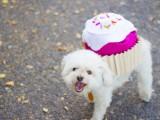 sweet-diy-cupcake-dog-costume-for-halloween-12