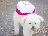 sweet-diy-cupcake-dog-costume-for-halloween-2